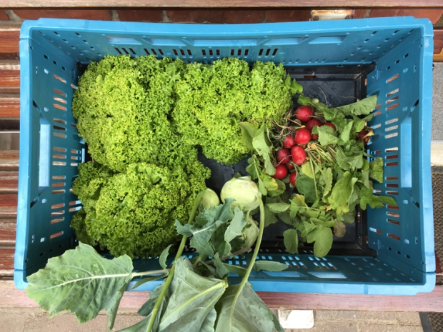 Solawi-Gemüse - dritte Woche